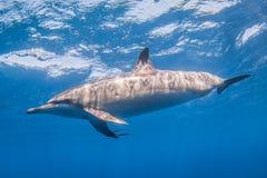 Spinner-Delphin lizenzfreie stockfotografie