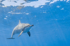 Spinner-Delphin lizenzfreie stockfotos