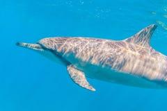 Spinner-Delphin stockbild