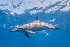 Spinner-Delphin stockfotografie