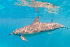 Spinner-Delphin lizenzfreies stockbild