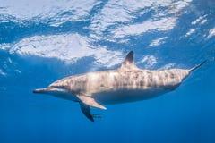 Spinner-Delphin lizenzfreies stockfoto