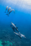 Spinner-Delphin stockfoto