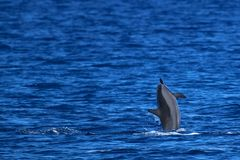Spinner-Delphin-Durchbrechen Lizenzfreies Stockbild