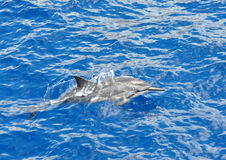 Free Spinner Dolphin Stock Photography - 21412462