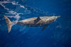Spinner Dolphin in Clear, Blue Waters. A Spinner dolphin, Stenella longirostris, cruises through the crystal clear waters of the tropical Pacific Ocean. These royalty free stock image