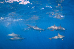 Spinner Dolphin. Cruising in the warm waters of the Pacific Ocean in Hawaii stock photography