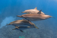 Spinner Dolphin. Cruising in the warm waters of the Pacific Ocean in Hawaii Stock Photo