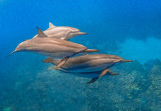 Spinner Dolphin Royalty Free Stock Photography