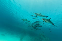 Spinner dolphin (stenella longirostris) pod in the Red Sea. Royalty Free Stock Photography