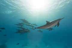 Spinner dolphin (stenella longirostris) pod in the Red Sea. Royalty Free Stock Images