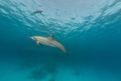 Spinner dolphin (stenella longirostris) in the Red Sea. Royalty Free Stock Photos
