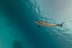 Spinner dolphin (stenella longirostris) in the Red Sea. Stock Photos