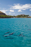Spinner Dolphins. A pod of wild Spinner Dolphins observed on the West coast of Oahu Stock Images