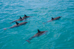 Spinner Dolphins Royalty Free Stock Photos