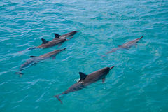 Spinner Dolphins. A pod of wild Spinner Dolphins observed on the West coast of Oahu Royalty Free Stock Photo