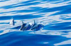 Spinner dolphins off coast of Kauai. Spinner dolphins swimming close to the surface of the bright blue clear ocean off the coast of Kauai in Hawaii Royalty Free Stock Image