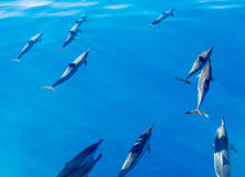 Spinner dolphins off coast of Kauai. Spinner dolphins swimming close to the surface of the bright blue clear ocean off the coast of Kauai in Hawaii Royalty Free Stock Images