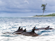 Spinner dolphins. Pod of wild  spinner dolphins (Stenella longirostris) in shallow bays near Bird Island, Seychelles Royalty Free Stock Images