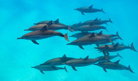 Spinner dolphins scene from above Royalty Free Stock Photos