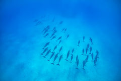 Spinner dolphins. A sense of freedom. A pod of spinner dolphins {Stenella longirostris} in the Fury Shoals. Red Sea. June Stock Photo