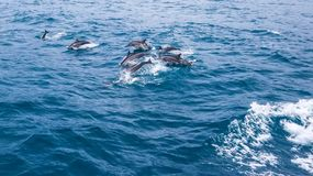 Spinner dolphins royalty free stock photography