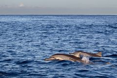 Spinner Dolphins Stenella longirostris. Swimming in the Indian Ocean at Mauritius, Africa Stock Photos