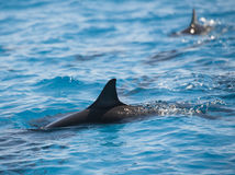 Spinner dolphins surfacing in a lagoon Royalty Free Stock Image