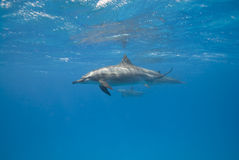 Spinner dolphins in the wild. Spinner dolphins (Stenella longirostris) in the wild. Sataya, Southern Red Sea, Egypt Stock Images