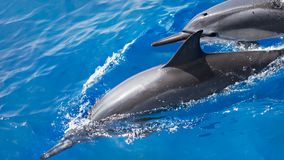 Spinner dolphins in the wild in Hawaii, USA Royalty Free Stock Photography