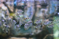 Spinner fish. The archerfish (spinner fish or archer fish) form a monotypic family,Toxotidae, of fish known for their habit of preying on land-based insects and Royalty Free Stock Images