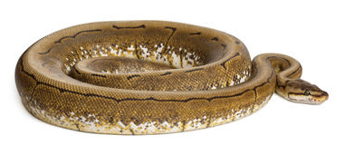 Spinner Python, Royal python, ball python Royalty Free Stock Photos