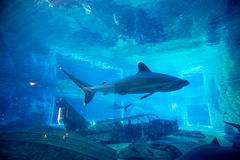Spinner shark in Aquarium. Close up view of a Spinner sharks, swimming through an Aquarium. uShaka Sea World the fifth largest aquarium in the world Royalty Free Stock Image