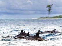 Spinnerdolfijnen Royalty-vrije Stock Afbeeldingen