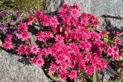 Spinneweb alpin d'arachnoideum de Sempervivum de fleur, la vallée d'Aoste, Italie Images stock