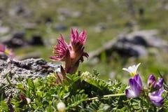 Spinneweb alpin d'arachnoideum de Sempervivum de fleur, tir éclairé à contre-jour, la vallée d'Aoste, Italie Images libres de droits