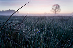 Spinneweb in Dawn Stock Afbeeldingen