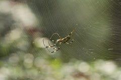 Spinneweb in de ochtend stock afbeeldingen