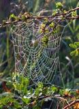 Spinneweb op een struik Stock Afbeeldingen