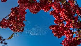 Spinneweb op het Gouden en zilveren hout Royalty-vrije Stock Foto's