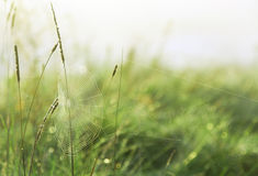 Spinneweb tussen de grassprietjes Stock Afbeelding
