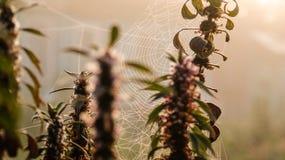 Spinnewebben in de ochtend Royalty-vrije Stock Afbeeldingen