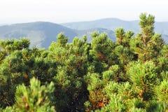 Spinney juniper juniperus. At mountain ridge background Royalty Free Stock Photography