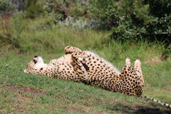 Spinning Cheetah royalty free stock photography
