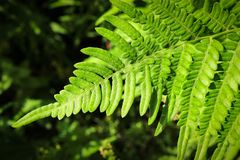 Green fern leaves backlit by the sun. royalty free stock photography