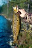Spinning fishing (lure fishing) trout in lakes of Scandinavia. Brook trout (steelhead rainbow trout, char, bull-trout, cutthroat, lax, Salmo trutta trutta royalty free stock photo