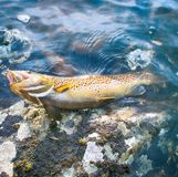 Spinning fishing (lure fishing) trout in lakes of Scandinavia. Royalty Free Stock Photography