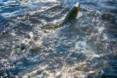 Spinning fishing lure fishing trout in lakes of Scandinavia. Royalty Free Stock Image