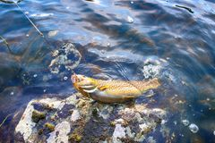 Spinning fishing (lure fishing) trout in lakes of Scandinavia. Brook trout (steelhead rainbow trout, char, bull-trout, cutthroat, lax, Salmo trutta trutta stock image
