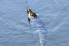 Spinning pike caught on a spoon in his mouth Royalty Free Stock Images